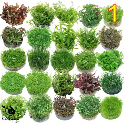 Live Aquarium Plants In Vitro - Aquatic Tropical Fish Aquascaping Carpet InVitro <br/> *** BUY 3 GET 1 FREE ***