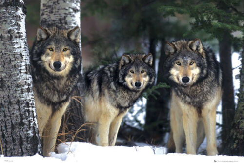 WOLVES IN SNOW - ART POSTER 24x36 - NATURE WILDLIFE THREE 33936