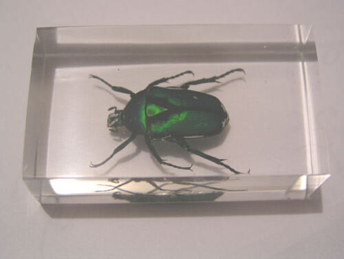 Scarab beetle green back real rose chafer in acrylic paperweight 3x1.75x1 inch