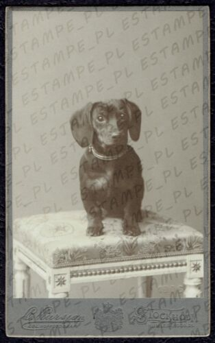 CDV Photo Dachshund Dog Dackel (6251)