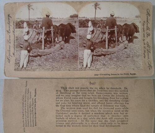 1899~SV~Oxen Threshing Beans in The Field~Egypt