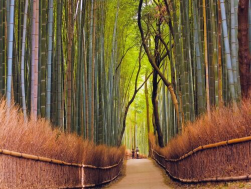 """Peter Adams, """"Path Through Bamboo Forest, Kyoto Japan"""", digital print from photo"""