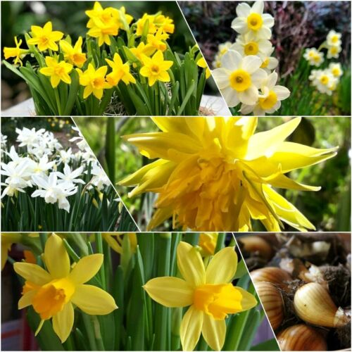 🌼Daffodil Bulbs Narcissus🌼Mixed Dwarf Spring Flowering Bulbs Top Quality