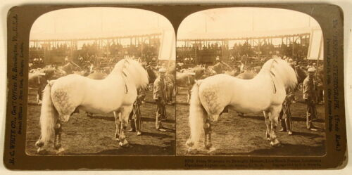 PRIZE WINNING DRAUGHT HORSE ST LOUIS MO H C WHITE STEREOVIEW 1905