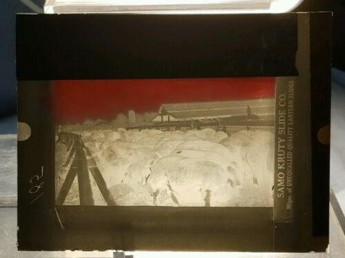 Vintage GLASS NEGATIVE SLIDE Picture of Livestock in a Pen On A Farm