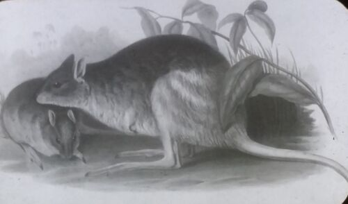 Drawing: Rat or Other Rodent, NO LABEL, Magic Lantern Glass Slide