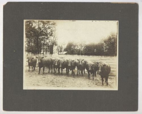 1900-1915 Cabinet Photo NINE STEERS ON A FARM with a FARM HOUSE, probably PA.