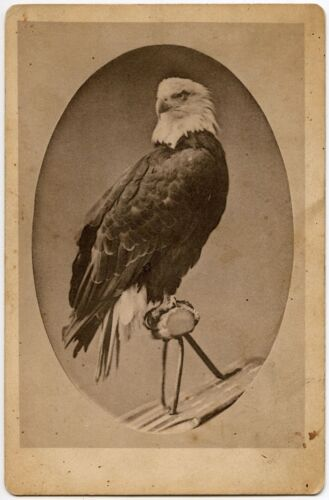 OLD ABE BALD EAGLE PERCHED ON SHEILD CABINET CARD PHOTO
