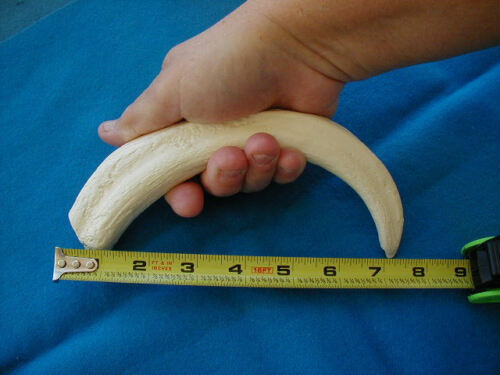 Wart Hog Tusk  (Imitation Replica) for Display, Scrimshaw, Engraving