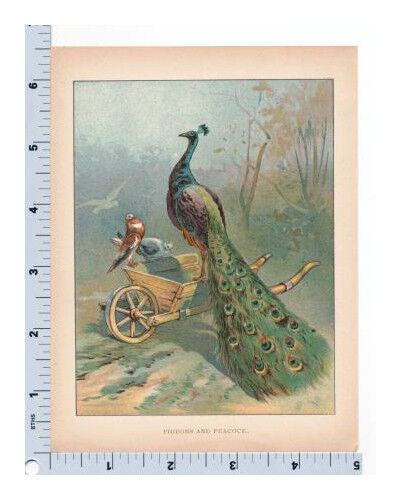Peacock Book Plate | Pigeons and Peacock Illustration | Vintage Bookplate