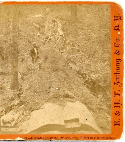 E&HT ANTHONY, Huge Tree, Hercules Prostrate, 97 Ft. Around -- Stereoview B5