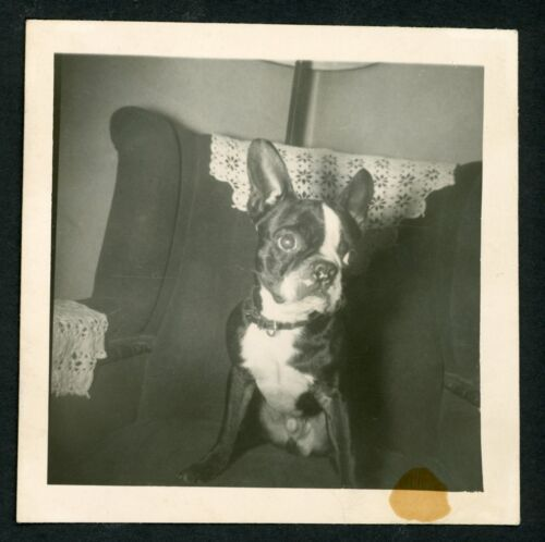 Cute Boston Terrier Dog on Chair Vintage Photo Snapshot 1940s Living Room Puppy