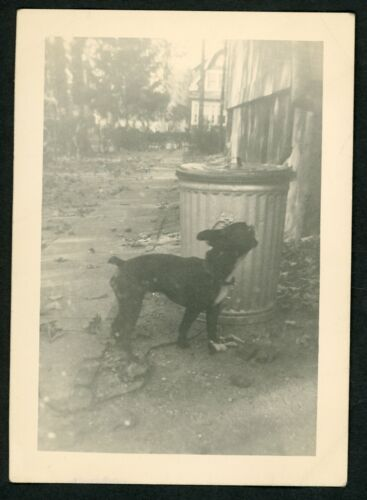 Cute Boston Terrier Dog Garbage Can Photo Snapshot 1940s Street Puppy Pets