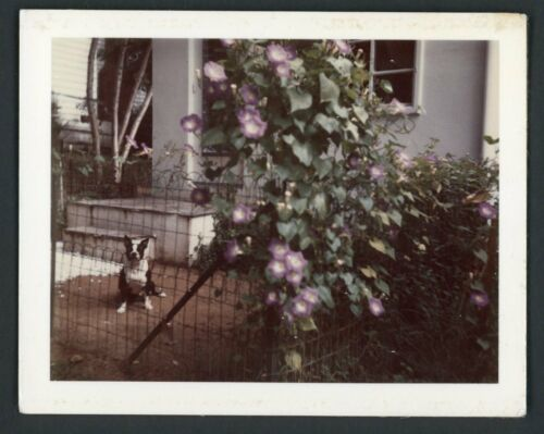 Cute Boston Terrier Dog in From of House Polaroid Snapshot 1960s Flowers Puppy