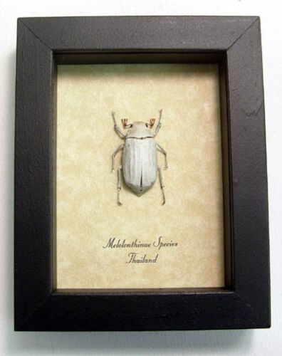 Real Framed Melolonthinae Sp. White Scarab Christmas Beetle 8031