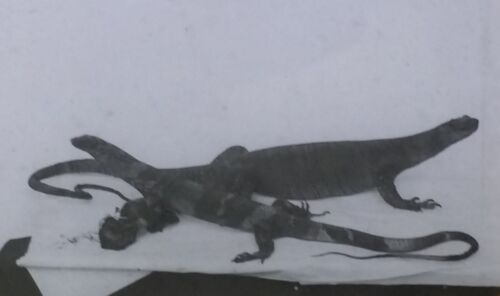 Lizards or Other Reptiles, NO LABEL, Magic Lantern Glass Slide