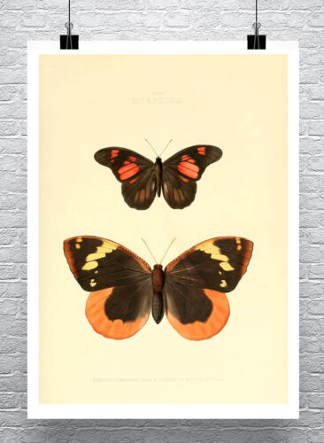 Butterflies Book Plate Illustration #50 Fine Art Giclee Print on Canvas or Paper