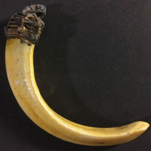 Real Takrut Wild BOAR Pig Tooth Fang Hog Amulet Thai Powerful Pendant Holy Charm