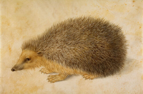 Albrecht Durer: A Hedgehog, after Durer by Hans Hoffmann - Fine Art Print