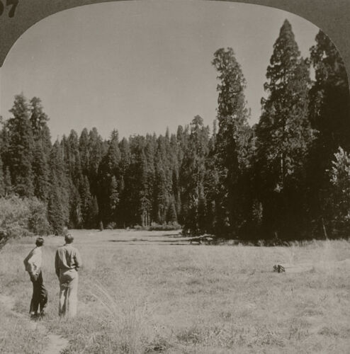 Keystone Stereoview Crescent Meadow, Sequoia N.P. 1930's Scenic America Set #197