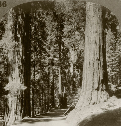 Keystone Stereoview The 3 Graces, Sequoia N. Park 1930's Scenic America Set #186