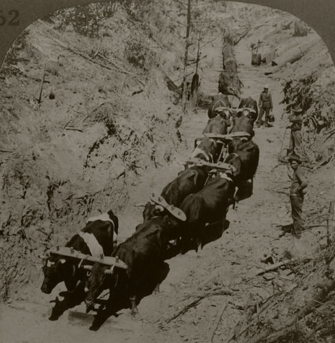 Keystone Stereoview 10 Ox Team Dragging logs to Mill, California Set 2 1910s #52