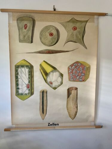 MID CENTURY Vintage GERMAN SCIENCE educational SCHOOL wall chart CELLS Atomic