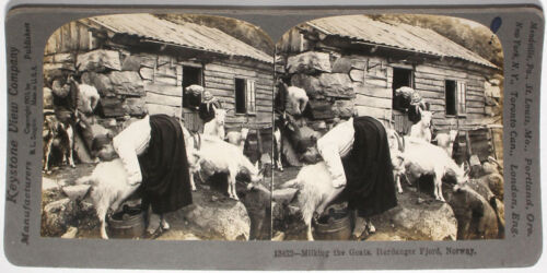 Keystone Stereoview Woman Milking Goats, Norway From a 72 Card Set 1900's #13422