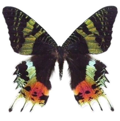 ONE REAL MADAGASCAR SUNSET MOTH CHRYSIRIDIA RHIPHEUS TOP UNMOUNTED WINGS CLOSED