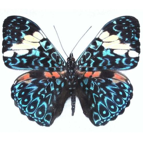ONE REAL BUTTERFLY BLUE WHITE HAMADRYAS PERU UNMOUNTED WINGS CLOSED
