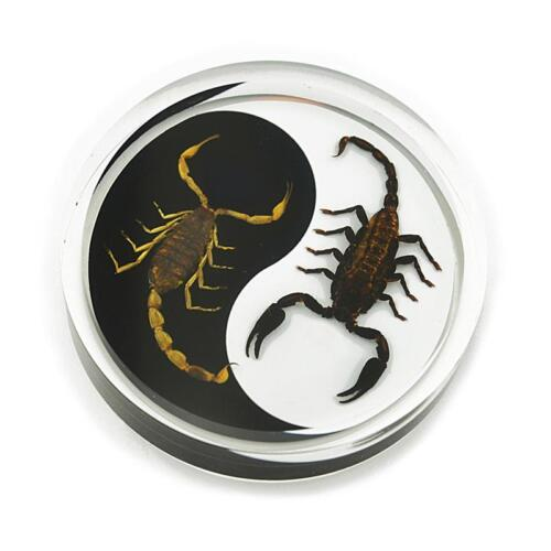 Scorpions Yin- Yang Black White Genuine INSECT Desktop Paperweight  Paper Weight
