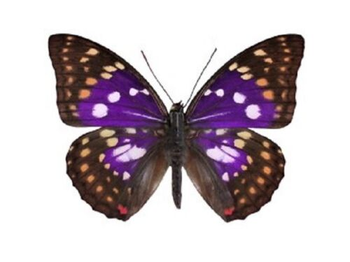ONE REAL BUTTERFLY PURPLE SASAKIA CHARONDA CHINA UNMOUNTED WINGS CLOSED
