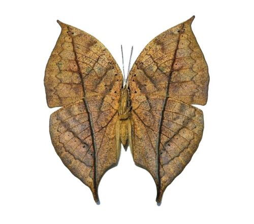 ONE REAL BUTTERFLY KALLIMA INACHUS LEAF MIMIC VERSO UNMOUNTED WINGS CLOSED