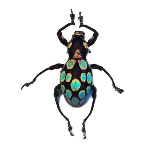 ONE REAL WEEVIL BEETLE PACHYRRHYNCHUS GEMMATUS BLUE GREEN PHILIPPINES