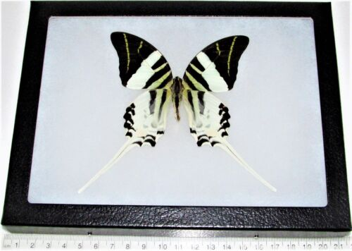 REAL FRAMED BUTTERFLY BLACK WHITE SWORDTAIL PAPILIO ANDROCLES 8IN X 6IN FRAME!