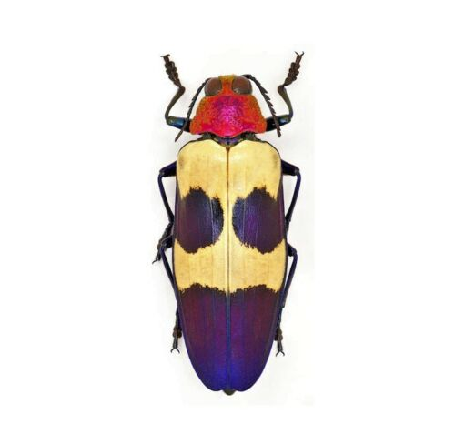ONE REAL CHRYSOCHROA BUQUETI BLUE PINK JEWEL BEETLE BUPRESTID MALAYSIA