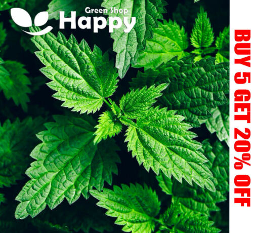 Stinging Nettle - 1300 SEEDS - Urtica dioica - Perennial  insecticide Herb