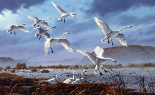 """David Maass """"Weaver Bottoms"""" Tundra Swans Signed and Numbered  Print  25 x 16.5"""