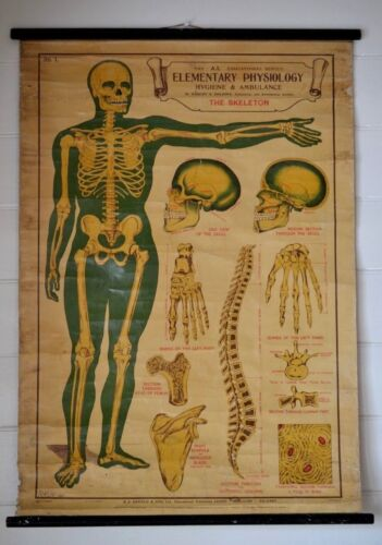 Original Elementary Physiology Anatomical Chart 'No.1 The Skeleton'  E.J Arnold