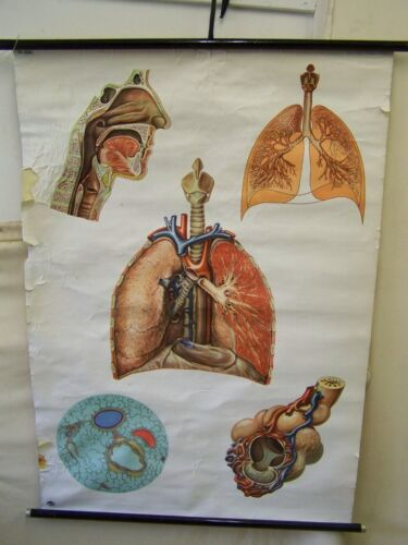 Old Anatomy Wall Chart Respiratory System Vintage Decoration Roll Chart Antique