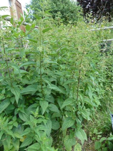 Graines  d'ORTIE sauvage grande   seeds ORTIES  NETTLE  plus de 1400 graines bio