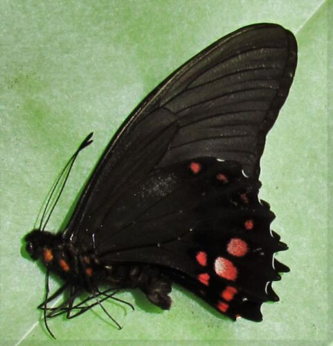 Ruby-spotted Swallowtail Butterffly Papilio anchisiades Male Folded FAST USA