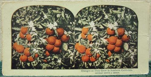 """Griffith & Griffith Colored Stereoview of """"Oranges as They Grow in Southern CA."""""""