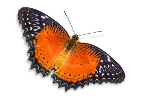 Lot of 2 Red Lacewing Butterfly Cethosia biblis insularis Folded FAST FROM US
