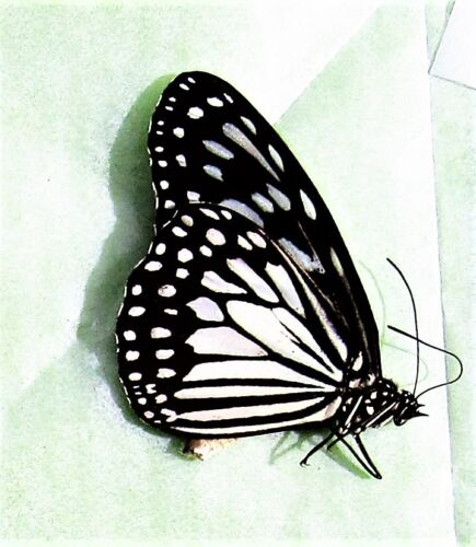 Lot of 2 Glassy Tiger Butterfly Ideopsis juventa manillana Folded FAST FROM USA