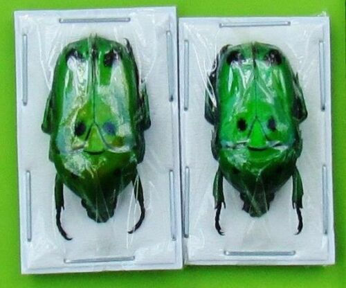 Lot of 2 Unique Emerald Face Flower Beetle Heterorrhina sexmaculata FAST FROM US