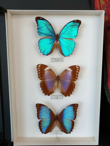 Vintage South American Framed Butterfly's …beautiful collection & display item
