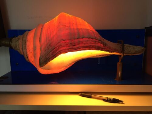 Very Large Sea Shell Table Lamp On 60cm Stand