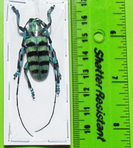 Blue & Black Long-horn Beetle Anoplophora medembachi Male FAST FROM USA