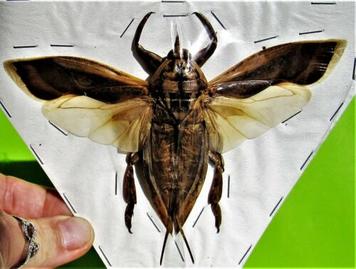 Rare True Bug Lethocerus indicus Hemiptera Insect FAST FROM USA